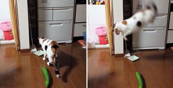 Чому кішки бояться огірків