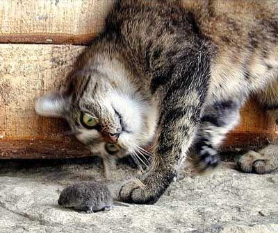 Чому кішки ловлять мишей?