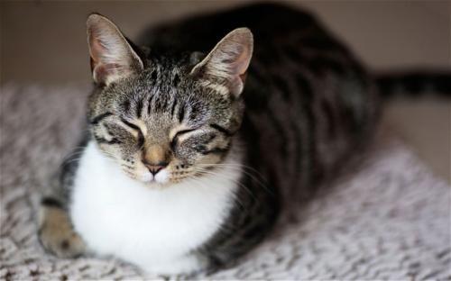 Чому кішки муркочуть?