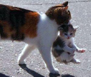 Чому кішки носять кошенят за холку?