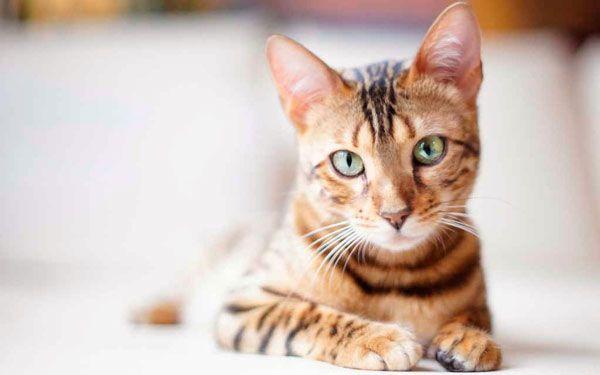 Чому кішки відгукуються на киць киць
