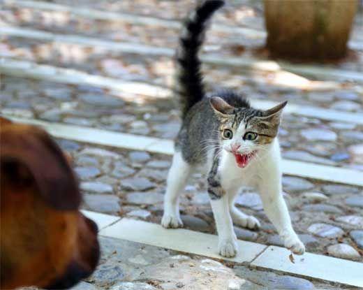 Чому кішки шиплять.