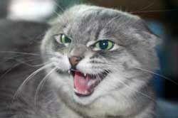 Шипляча кішка, фото