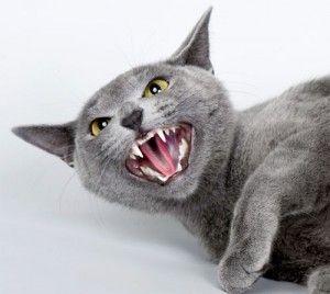 Чому кішки шиплять