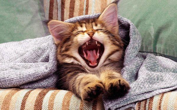 Чому кошеня чхає: причини появи тривожного симптому