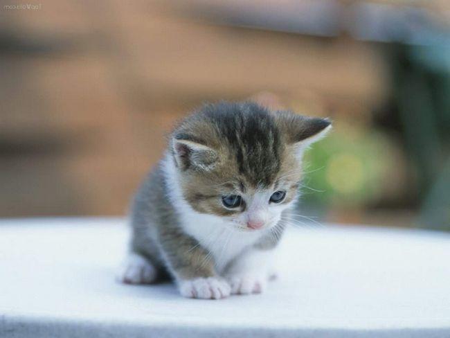 Причини частого дихання у кошеняти.
