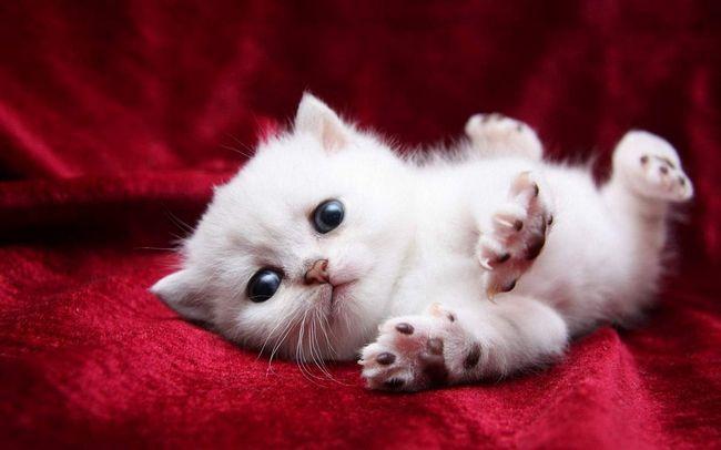 Обов`язково обстежте своє котеня, можливо проблеми з диханням говорять про наявність хвороби в організмі.