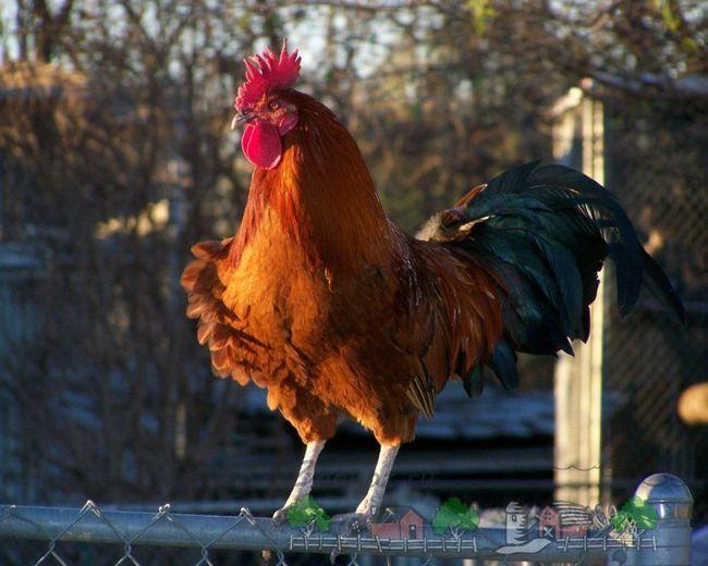Чому кури клюють яйця і своїх родичів?