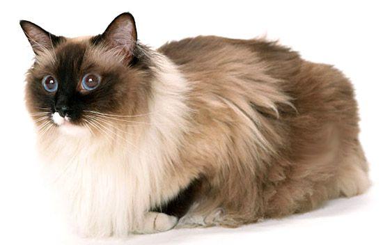 Линька у кішок