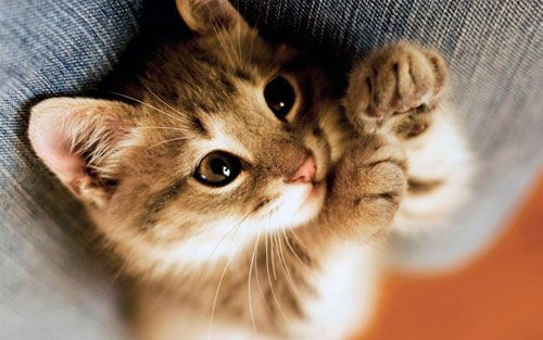 Чому мурличут кішки і для чого вони це роблять?