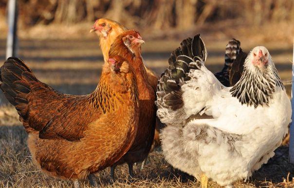 Великі кури несучки фото