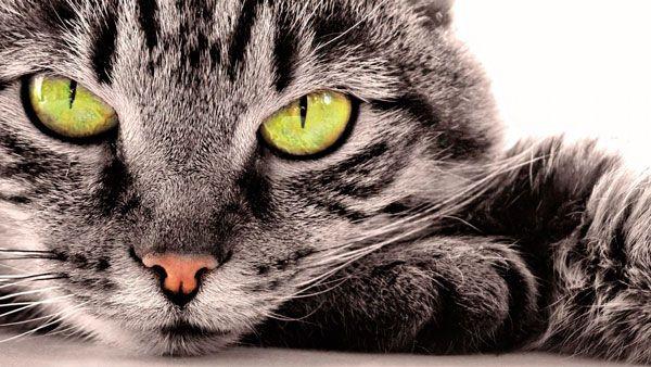 Чому не можна дивитися кішці в очі: прикмети і наукове пояснення