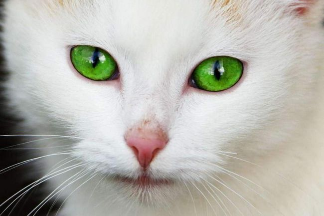 Чому у кішок вертикальні зіниці.