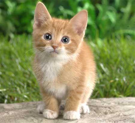 Чому у кошенят блакитні очі?