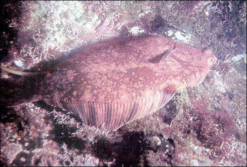 Підклас променепері риби (actinopterygii)
