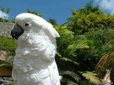 Підродина білі какадуcacatuinaeрод какадуcacatua