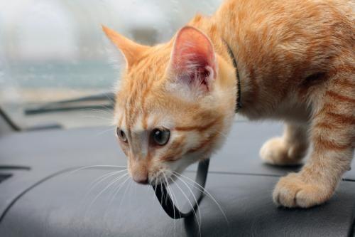 Поїздка з кішкою в машині