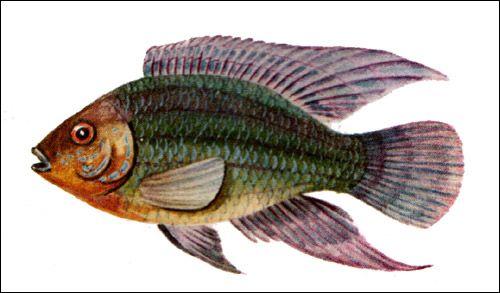 Цихлида акара, Малюнок картинка риби