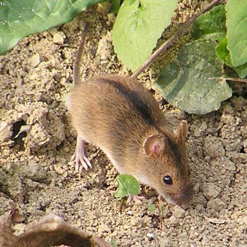Польова миша - зовнішній вигляд