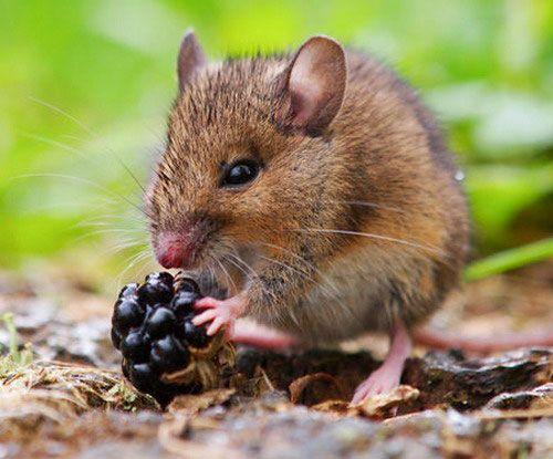 Польова миша їсть ягоду