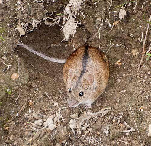 Польова миша біля нори