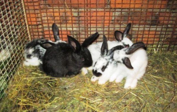 Корисна добавка для кроликів - молочна кислота