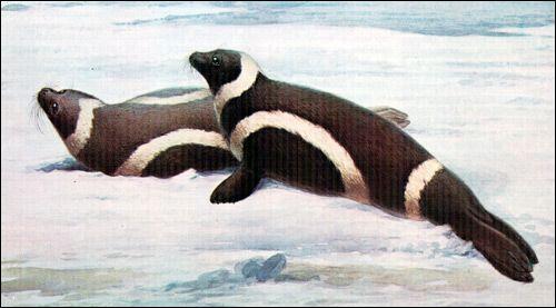 Смугастий тюлень, або крилатка (histriophoca fasciata)