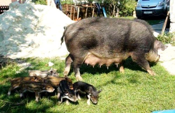 Напівдика порода свиней кишеню: опис і переваги