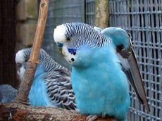 Папуги з нормальною хвилястістю
