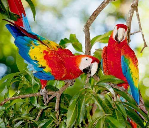 Папуга ара - зовнішній вигляд