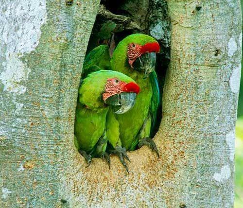 Папуги сидять в дуплі дерева