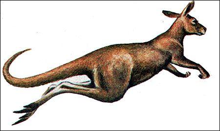 Сумчасті (marsupialia)