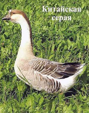 Порода гусей китайська сіра