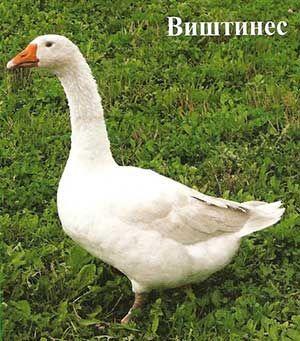 Порода гусей віштінес