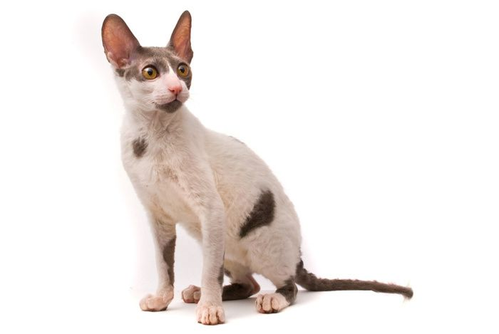 Кішка породи корниш рекс