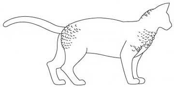 Порода Девон Рекс. тіло