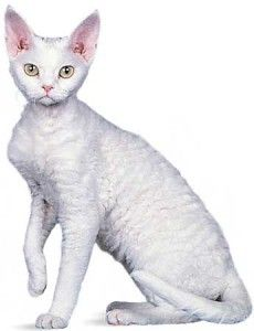 Порода кішок Девон Рекс