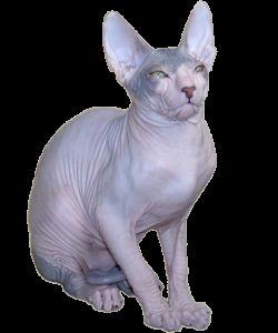 Порода кішок донський сфінкс