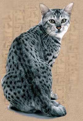 Порода кішок єгипетська мау.