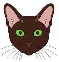 Кішка породи Гавана Браун. морда