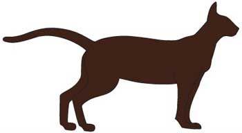Кішка породи Гавана Браун. тіло