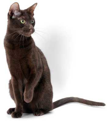 Кішка породи Гавана Браун.