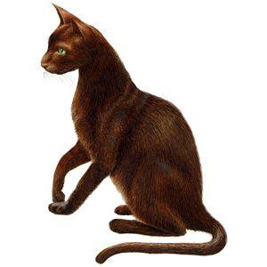 Порода кішок гавана