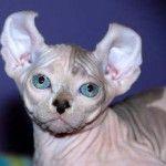 Порода кішок ельф