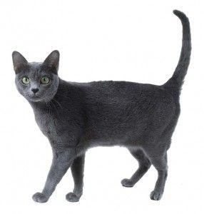 Порода кішок корат