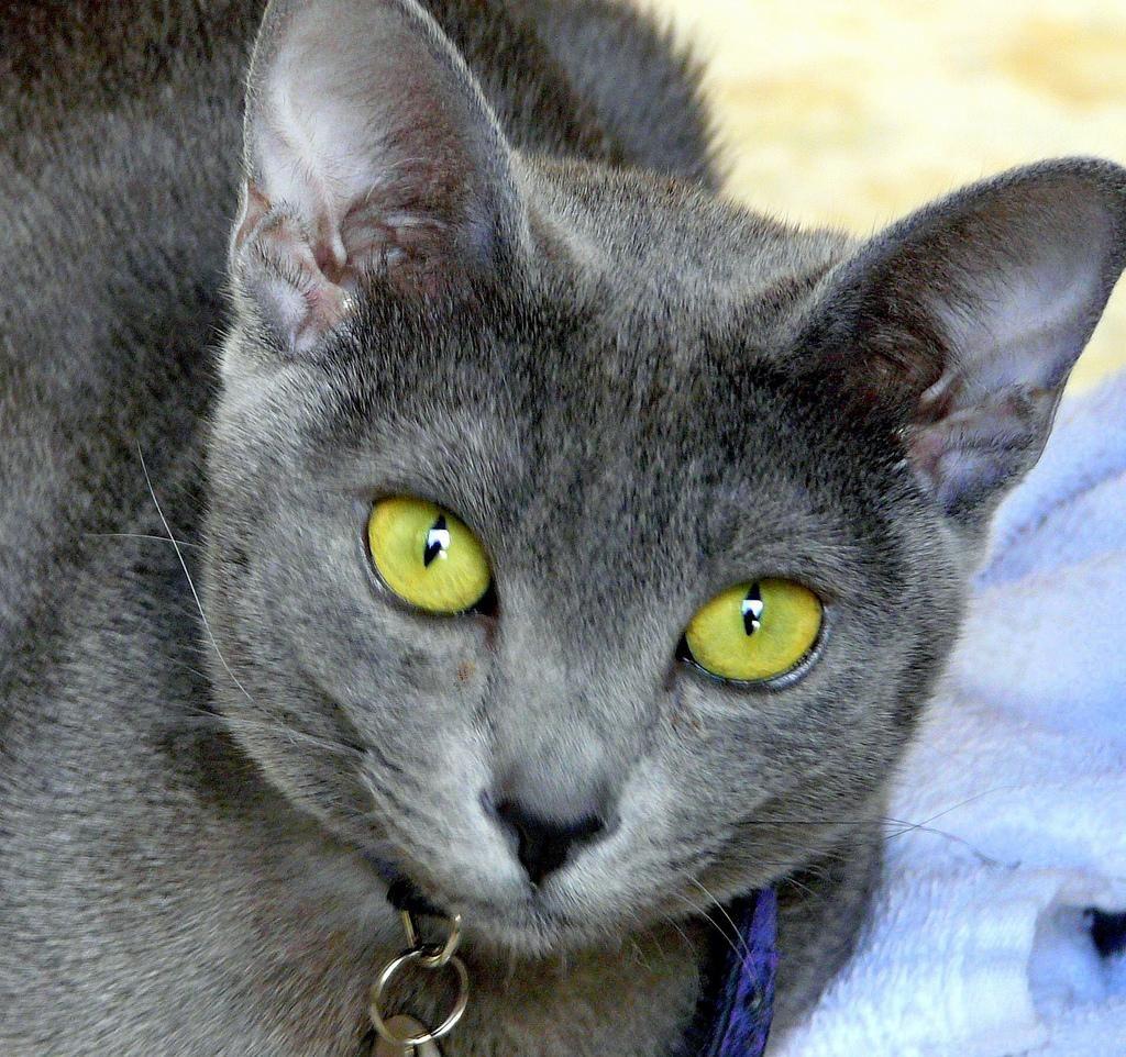 Кішки породи корат