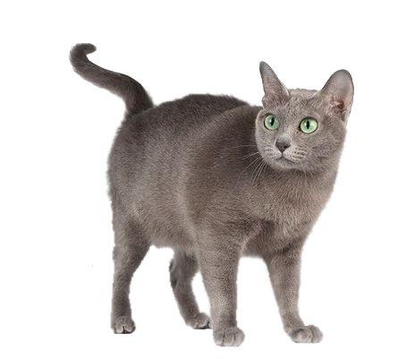 Корат порода кішок