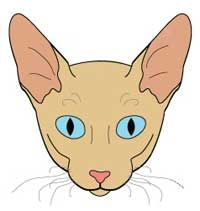 Порода кішок корниш рекс (cornish rex). Стандарт породи і критерії оцінки.
