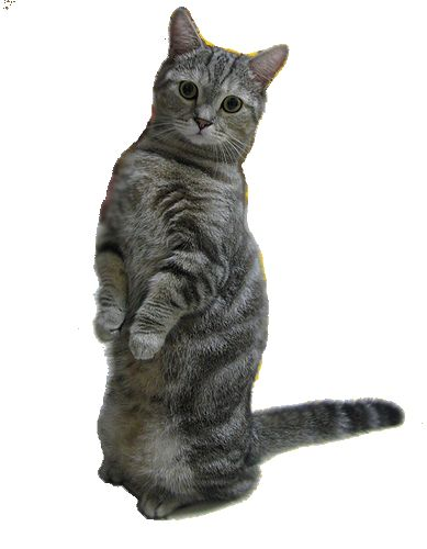 Порода кішок манчкін