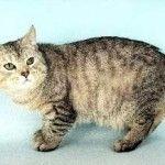 Порода кішок Менкс